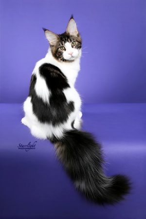 Justify Male MaineCoon Cat