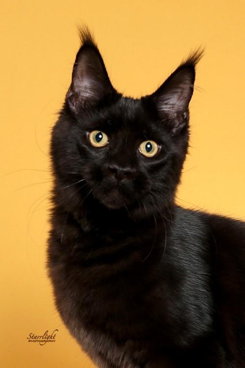 Ruffians Last Dance Female Black MaineCoon Cat